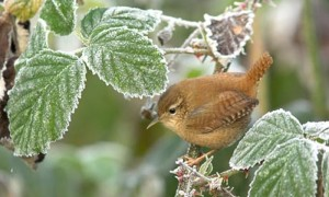 Wren in Winter - Photo by David Norton/Alamy